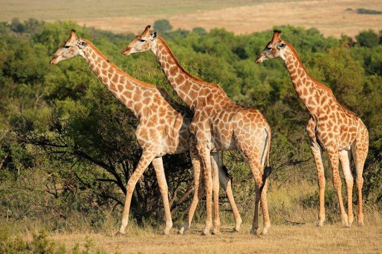giraffe-7